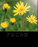 アルニカ花