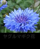 ヤグルマギク花