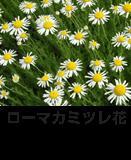 ローマカミツレ花
