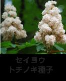 セイヨウトチノキ種子