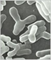 ヒトに適したビフィズス菌