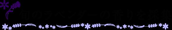 旬のラベンダーの香りを採集