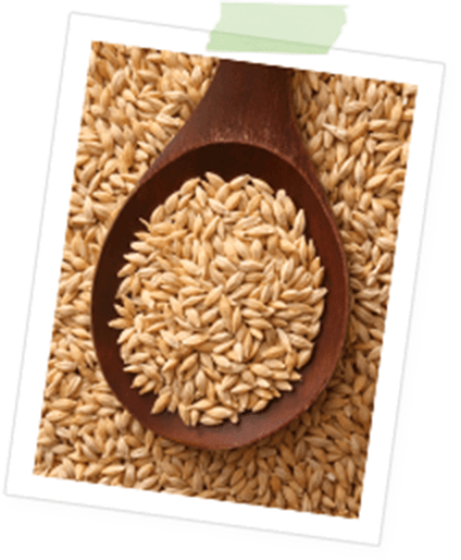 イタリア大麦のイメージ