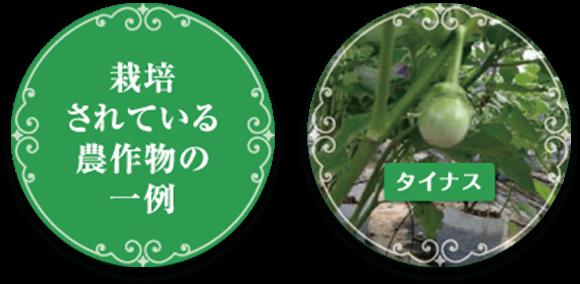 栽培されている農作物の一例...タイナス