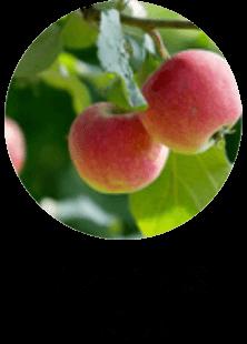 リンゴ果実エキス