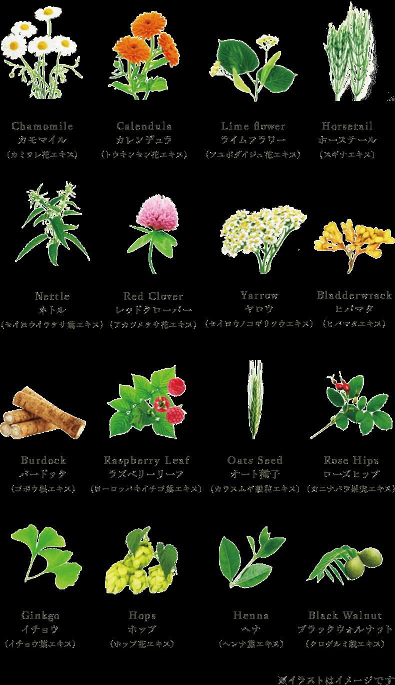 Chamomile カモマイル(カミツレ花エキス) Calendula カレンデュラ(トウキンセン花エキス) Lime flower ライムフラワー(フユボダイジュ花エキス) Horsetail ホーステール(スギナエキス) Nettle ネトル(セイヨウイラクサ葉エキス) Red Clover レッドクローバー(アカツメクサ花エキス) Yarrow ヤロウ(セイヨウノコギリソウエキス) Bladderwrack ヒバマタ(ヒバマタエキス) Burdock バードック(ゴボウ根エキス) Raspberry Leaf ラズベリーリーフ(ヨーロッパキイチゴ葉エキス) Oats Seed オート種子(カラスムギ穀粒エキス) Rose Hips ローズヒップ(カニナバラ果実エキス) Ginkgo イチョウ(イチョウ葉エキス) Hops ホップ(ホップ花エキス) Henna ヘナ(ヘンナ葉エキス) Black Walnut ブラックウォルナット(クログルミ殻エキス)