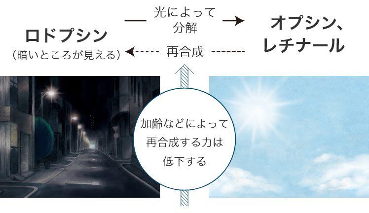 ロドプシン→光によって分解→オプシン、レチナール→再合成→ロドプシン