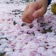 桜の最後の美しさ