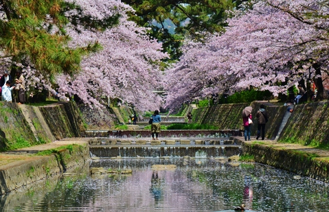 川は桜一色