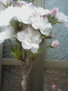 自宅でお花見。