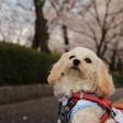 茨城県庁で愛犬とお花見。
