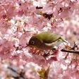 桜にメジロ サクジローに会えた(*´∀`*)
