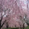 しだれ桜の並木道