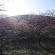 山を背にして桜咲く