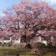 向島小学校の寒桜