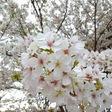 うっとりの桜